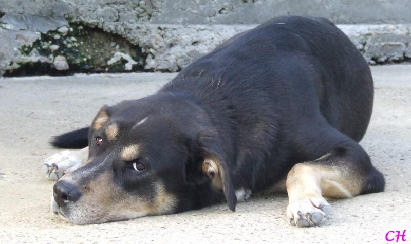 BEUCK mâle croisé beauceron-labrador né en 2006, au refuge depuis 2008  Beuck110