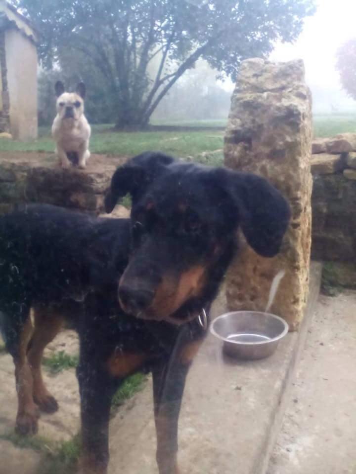NALA chiot femelle beauceronne de 6 mois abandonnée dans les bois Fb_img69