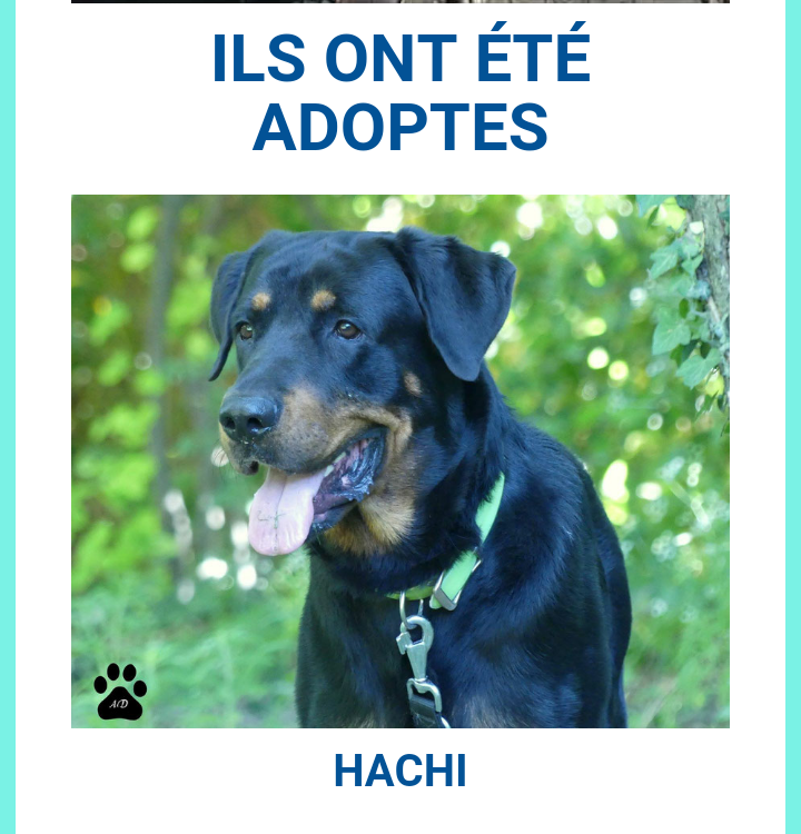 HACHI, très grand mâle de 4 ans Scree100