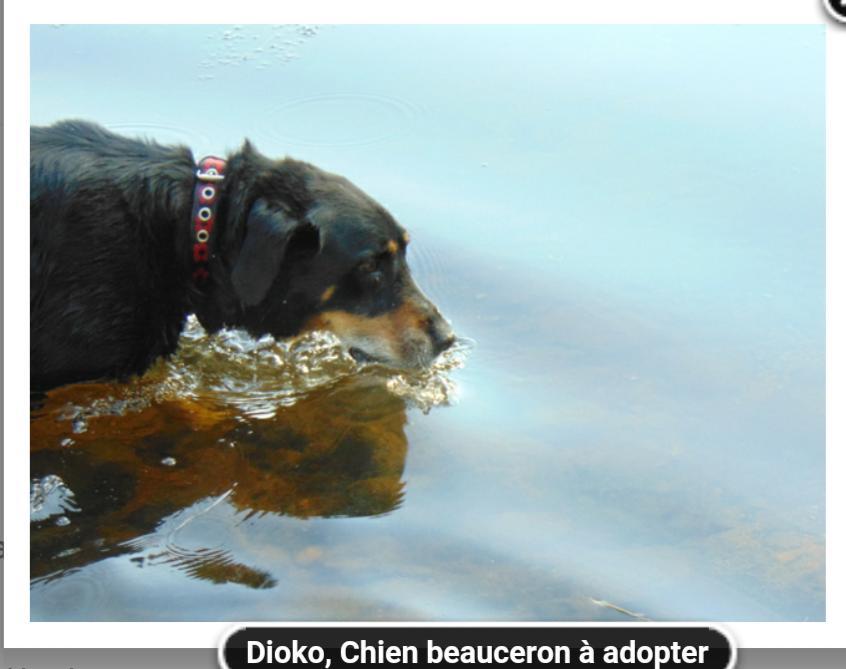 Dioko croisé  beauceron né en 2009 Scree115