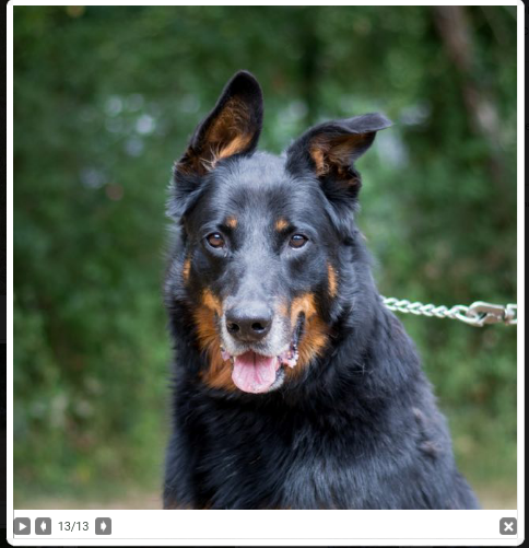 Gun mâle beauceron né en 2011 Scree171