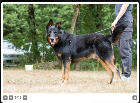 Gun mâle beauceron né en 2011 Scree172
