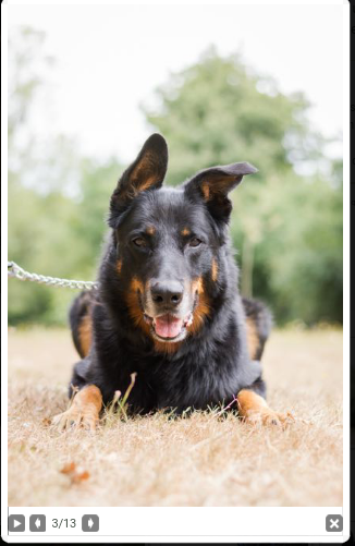 Gun mâle beauceron né en 2011 Scree173