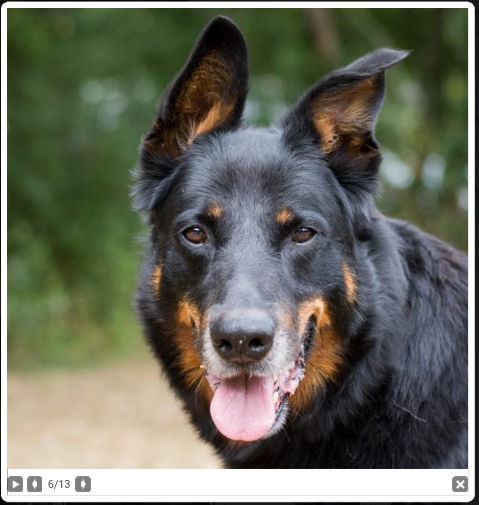 Gun mâle beauceron né en 2011 Scree175