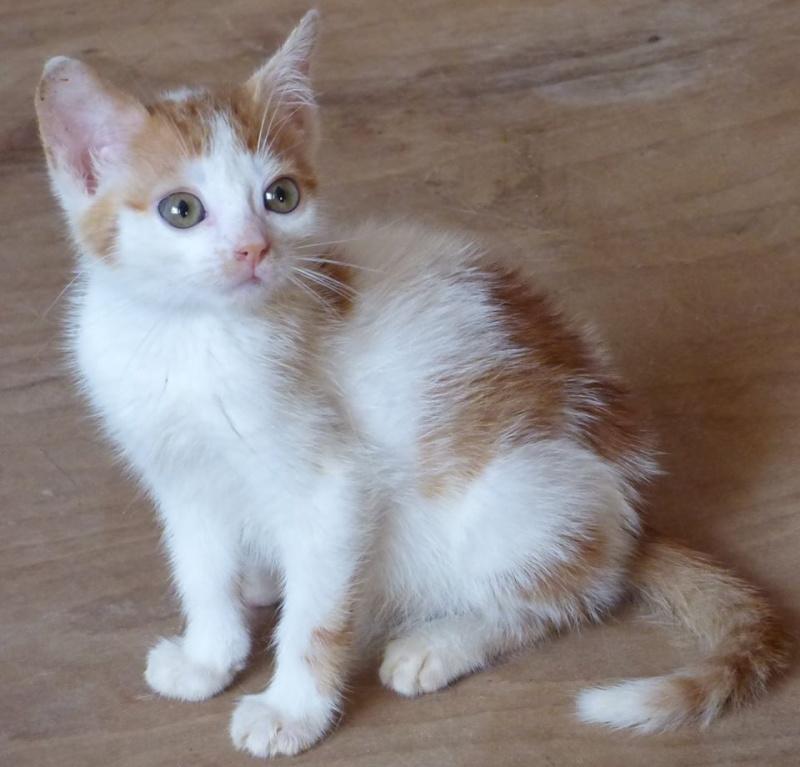 MITSY ( ex SATINE), chaton femelle née en mars 2016 - Pascani - adoptée par Abysse (dpt92) - PARTIE REJOINDRE LES ETOILES le 3 juillet 2017 .... 13516710