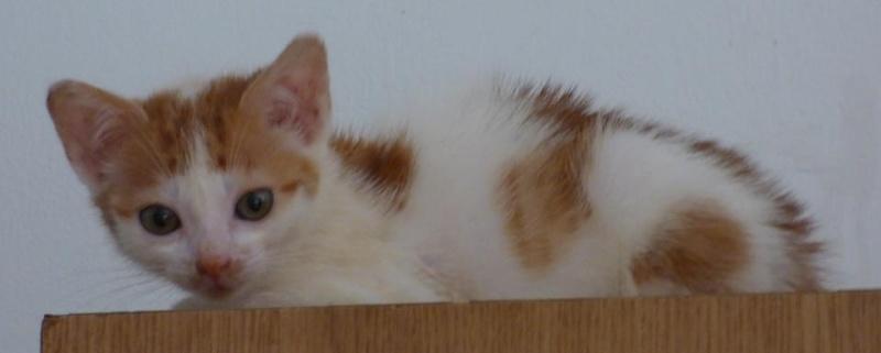 MITSY ( ex SATINE), chaton femelle née en mars 2016 - Pascani - adoptée par Abysse (dpt92) - PARTIE REJOINDRE LES ETOILES le 3 juillet 2017 .... 13567110