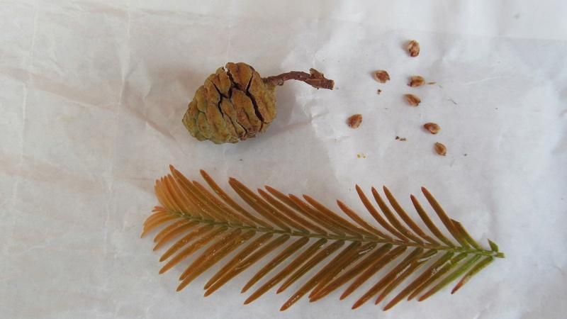 Il mio primo bonsai - Pompelmo Rosa XD Metase10