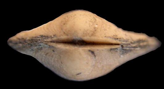 Semblable à Pectunculus nuculatus, Lamarck - Auversien _limop13