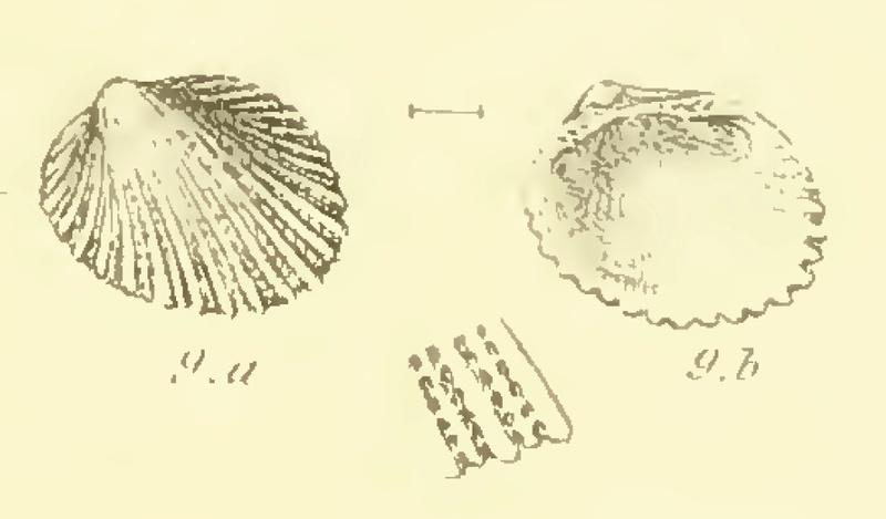 Arcoidea Bartonien Arcagl10