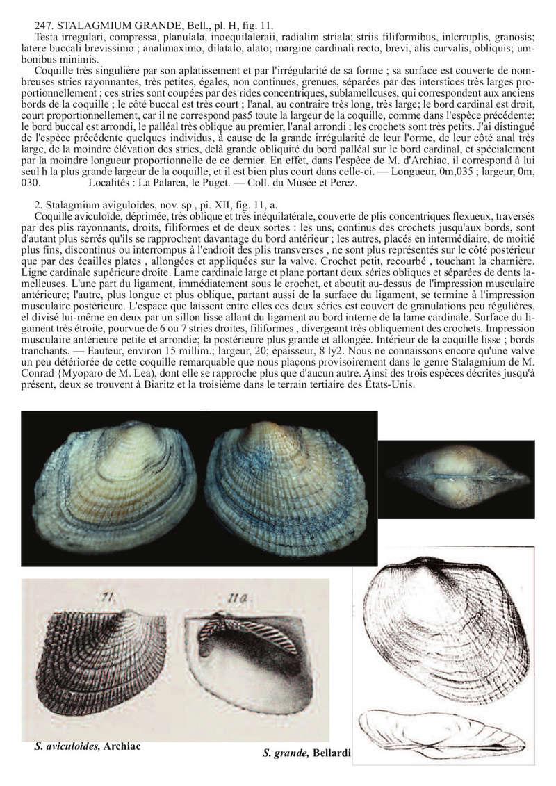 Arcoidea Bartonien Bivalv10