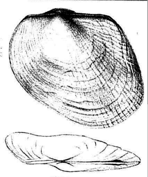 Arcoidea Bartonien Stalam10