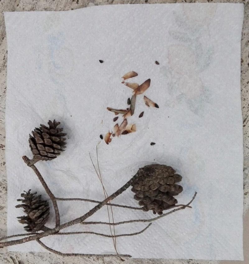 Riconoscimento specie (Aceri e altro) - Pagina 3 Pignes10