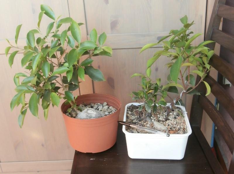"""Ficus Retusa """"Perronius"""" - Pagina 5 Retusi10"""