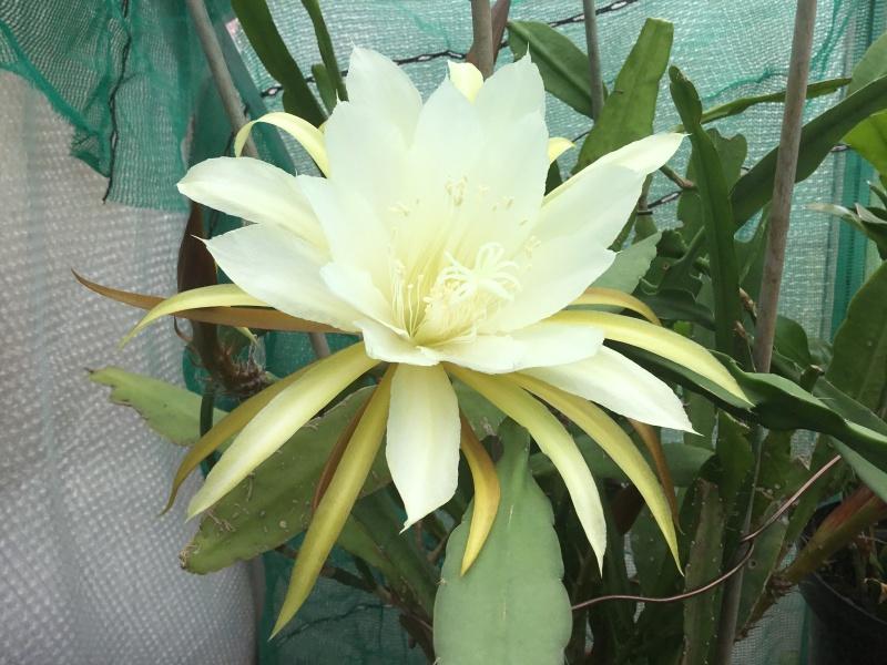 Epiphyllum Image26