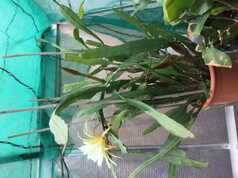 Epiphyllum Image27