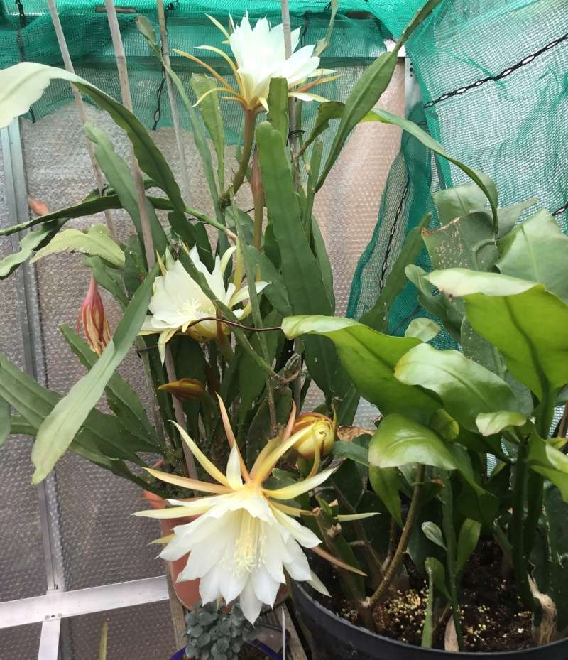 Epiphyllum Image52