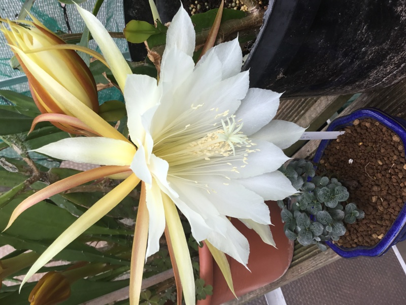 Epiphyllum Image53