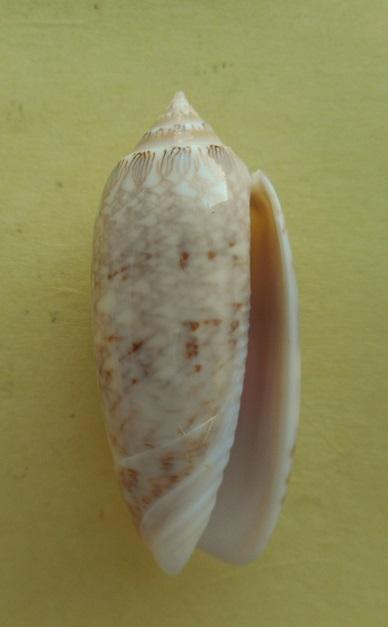 Americoliva bifasciata  Kuster, 1878 - Worms = Oliva bifasciata bifasciata Küster in Weinkauff, 1878· - Page 3 Dscn7816