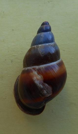 Helicostyla / Chrysallis sp ? Dscn7913
