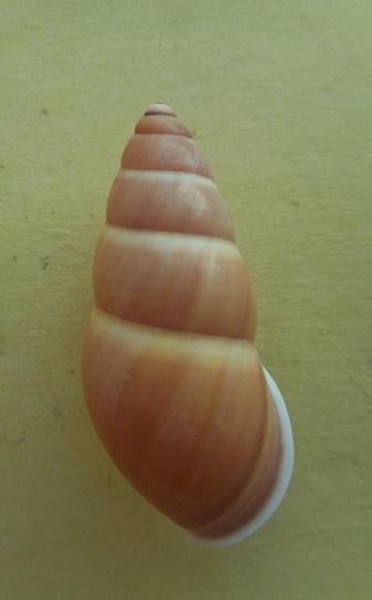 Amphidromus basilanensis (Bartsch,1917) Dscn7915