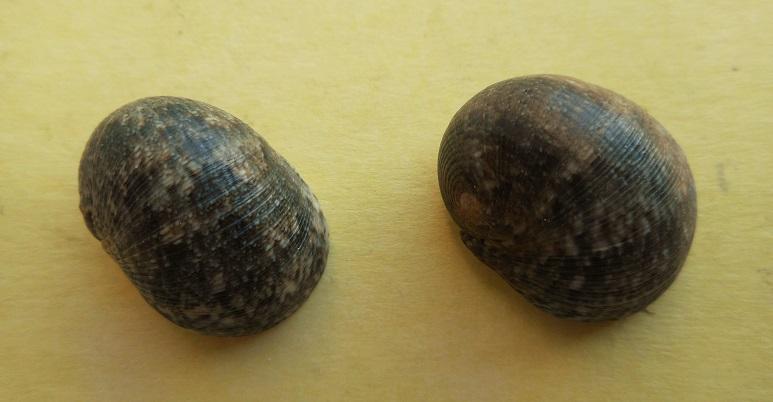 Nerita litterata - Gmelin, 1791 Dscn8218