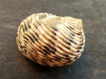 Nerita quadricolor - Gmelin, 1791 Dscn8221