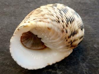 Nerita quadricolor - Gmelin, 1791 Dscn8222