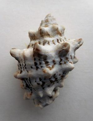 Stramonita rustica - (Lamarck, 1822) Dscn8413