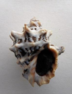 Stramonita rustica - (Lamarck, 1822) Dscn8414