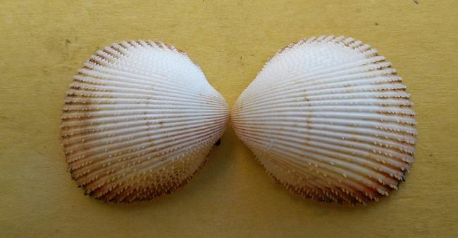 Dallocardia muricata - (Linnaeus, 1758)  Dscn8425