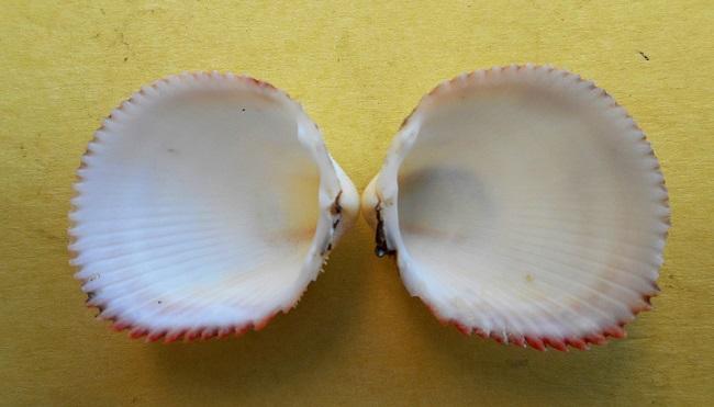 Dallocardia muricata - (Linnaeus, 1758)  Dscn8426