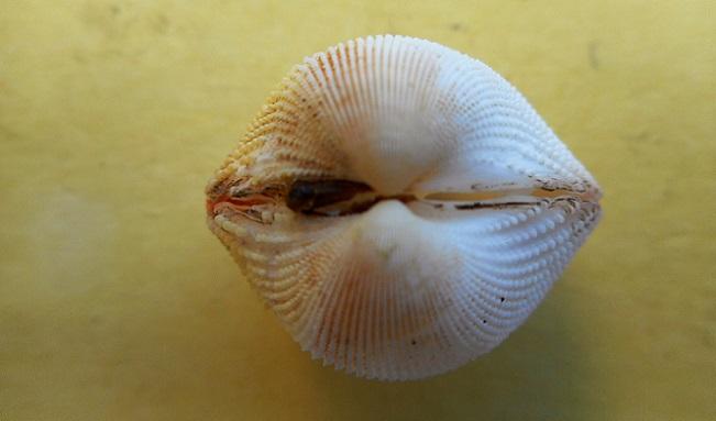 Dallocardia muricata - (Linnaeus, 1758)  Dscn8427