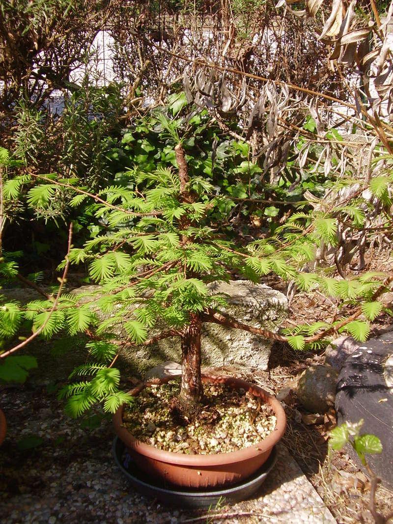WIP Metasequoia P4170111