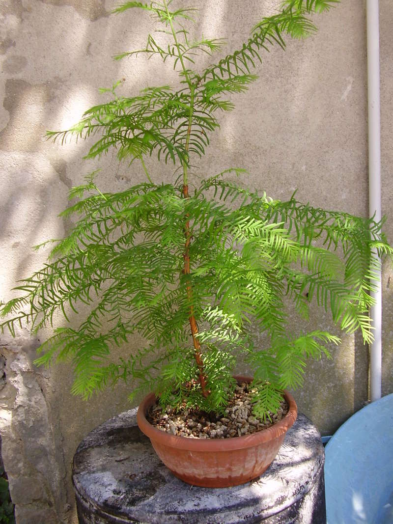 WIP Metasequoia P7250011