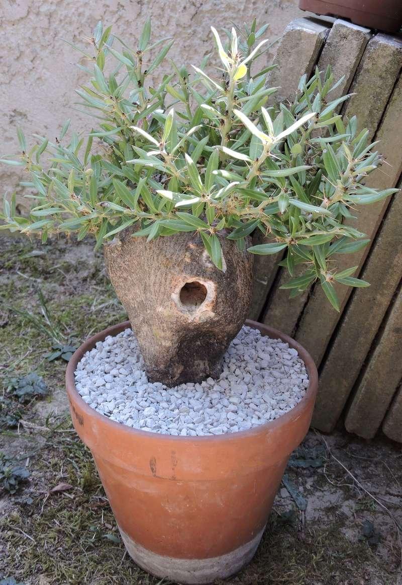 Pachypodium bispinosum - Page 4 Dscn1329