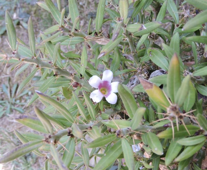 Pachypodium bispinosum - Page 4 Dscn1330