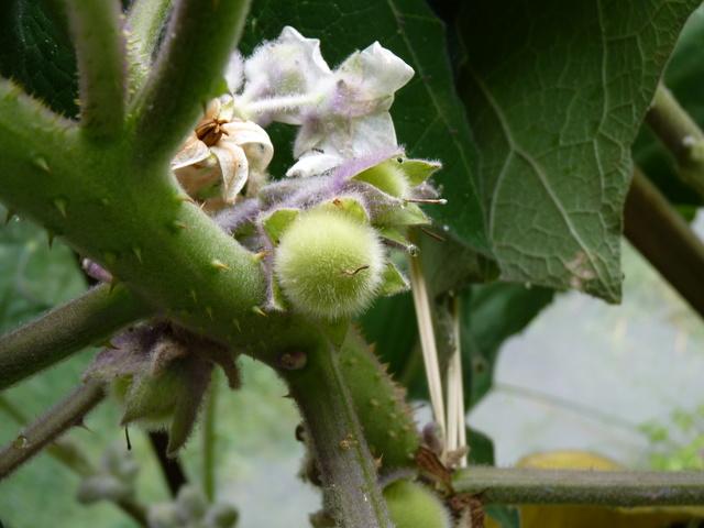 Solanum quitoense - lulo P1040510