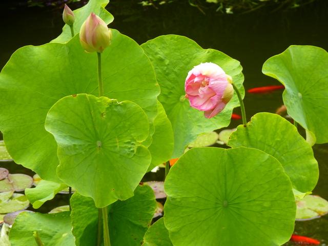 Nelumbo nucifera et horticoles - lotus sacré - Page 3 P1040512