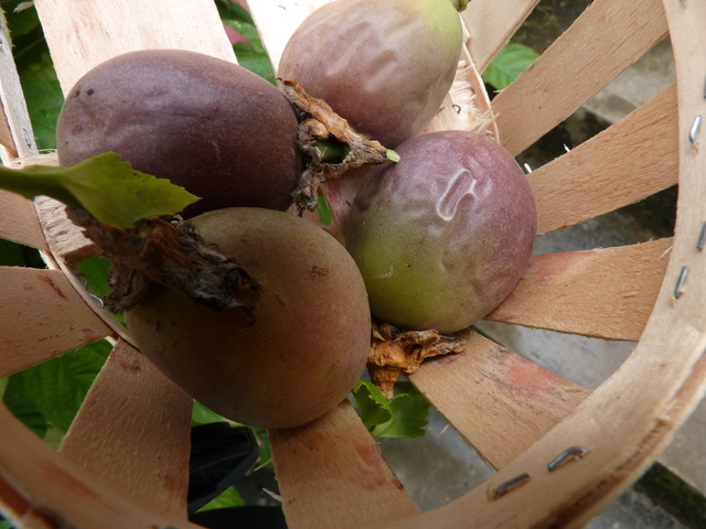Passiflora edulis var. kerii (= Passiflora incarnata) P1040522