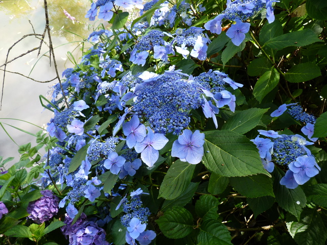 Hydrangea - hortensia - conseils de culture P1040610