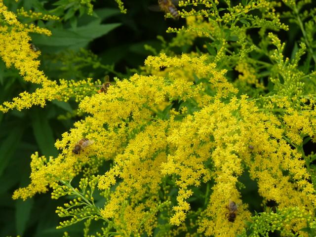 plantes mellifères : les meilleures plantes à insectes de vos jardins  P1040612