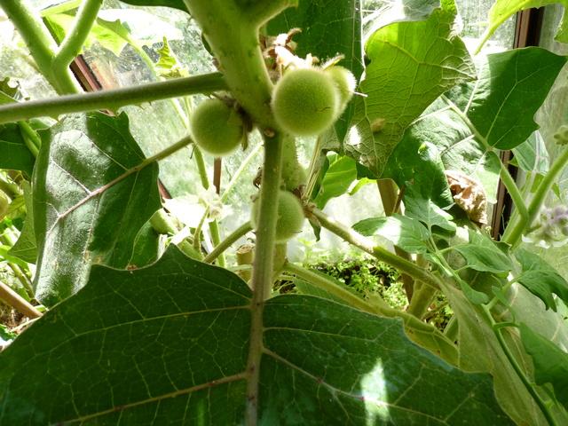 Solanum quitoense - lulo P1040616