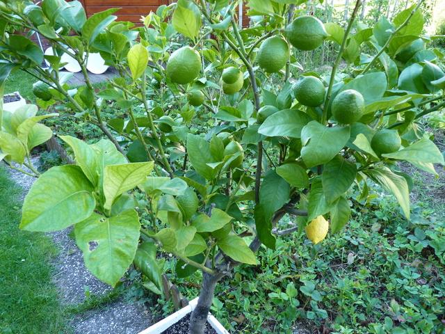 Citrus limon - citronnier des quatre saisons P1040625