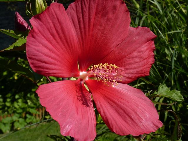 Hibiscus coccineus - Page 2 P1040626