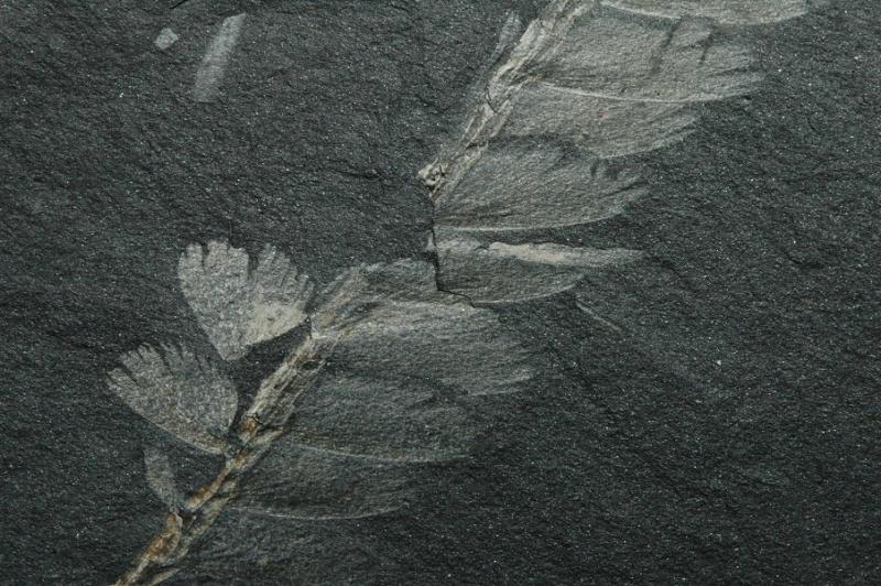 Flore Carbonifère des Alpes Françaises part 1 - Page 4 Vol_co10