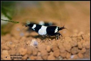 Réflexion sur de nouvelles appellations pour les Taïwan Bee Panda10