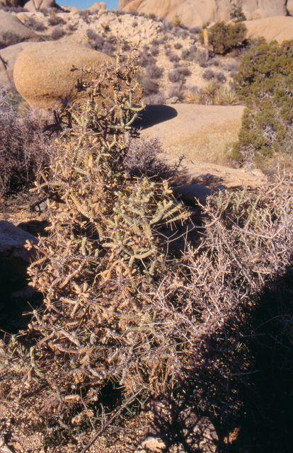 Cylindropuntia ramosissima  K-026210