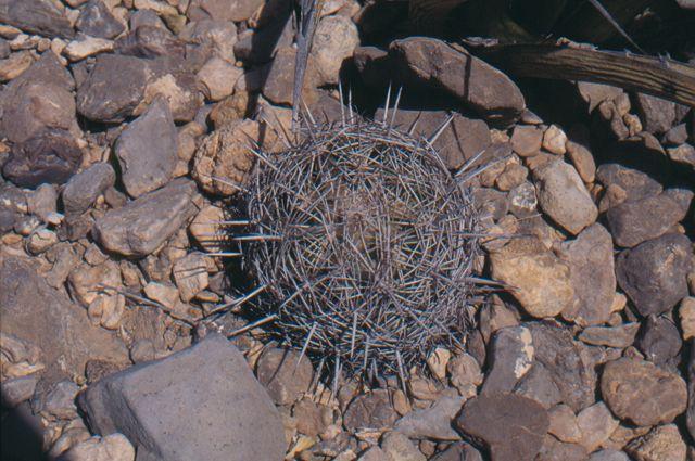Coryphantha echinus K-034410