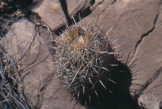 Coryphantha echinus K-042910