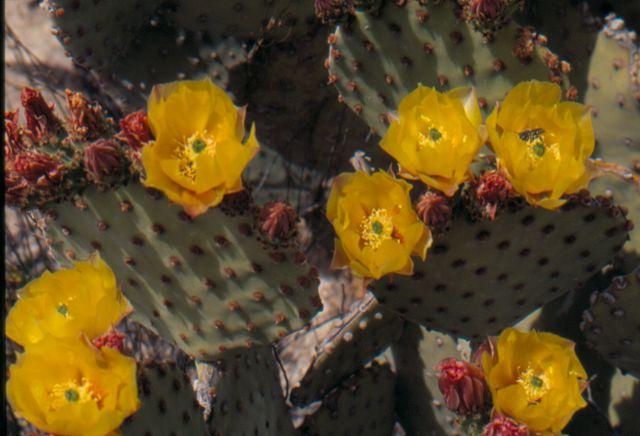 Opuntia rufida K-045310